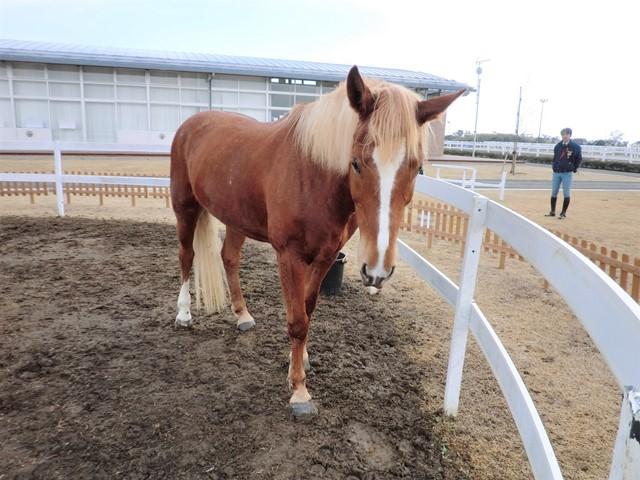 クリーム色のたてがみを持つキャンディ(16歳・メス)はひき馬体験の人気者。津波で生き残った36頭のうちの1頭です。